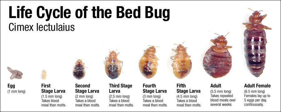 How to Get Rid of Bed Bugs, ByeByeBugs